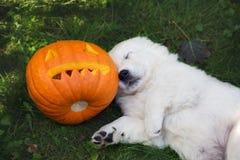 Golden retriever puppy with Halloween pumpkin Royalty Free Stock Image