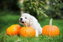 Adorable golden retriever puppy playing with pumpkins stock photo