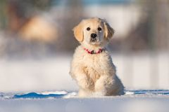 Golden retriever puppy. Puppy of a golden retriever struggling on the snow stock images
