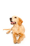 Golden retriever puppy purebred dog Royalty Free Stock Photography
