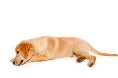Golden retriever puppy purebred dog Stock Images
