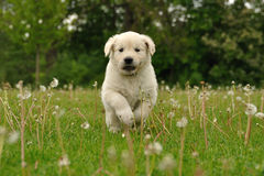 Golden retriever puppy running between dandelions. Outdoor Stock Photo