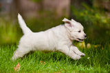 Golden retriever puppy running outdoors Stock Photos