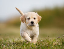 Golden retriever puppy running towards camera royalty free stock image