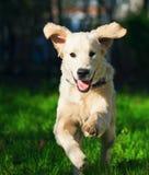 Golden Retriever puppy runs over the meadow Stock Photography