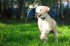 Golden Retriever puppy runs over the meadow in spring Stock Image