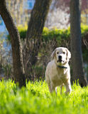 Golden Retriever puppy runs over the meadow in spring Royalty Free Stock Images