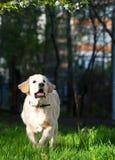 Golden Retriever puppy runs over the meadow in spring Stock Photos