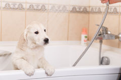 Golden retriever puppy in shower Royalty Free Stock Images