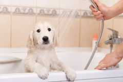 Golden retriever puppy in shower Stock Photos