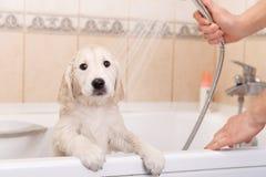 Golden retriever puppy in shower Stock Photos