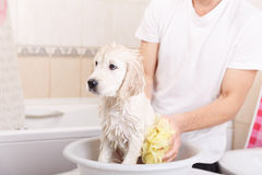 Golden retriever puppy in shower Stock Image