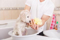 Golden retriever puppy in shower Stock Photography