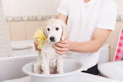 Golden retriever puppy in shower Royalty Free Stock Photo