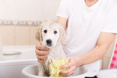 Golden retriever puppy in shower Royalty Free Stock Photos