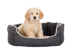 Golden Retriever puppy sitting in basket isolated on white backg Royalty Free Stock Photo