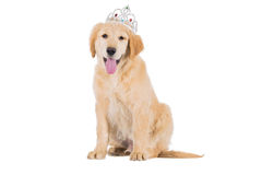 Golden retriever puppy sitting with crown looking straight isola Royalty Free Stock Images