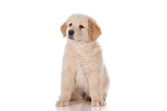 Golden Retriever puppy sitting Royalty Free Stock Photo