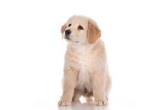 Golden retriever puppy sitting and looking up Royalty Free Stock Photos