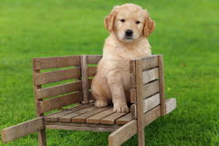Golden Retriever puppy sitting in rustic wooden wheelbarrow Stock Image