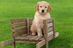 Golden Retriever puppy sitting in rustic wooden wheelbarrow Stock Image