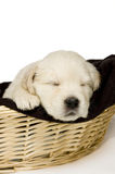 Golden retriever puppy sleeping in a basket. On white background royalty free stock images