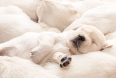 Golden retriever puppy sleeping. Cute puppy dog sleeping among other puppies Royalty Free Stock Photo