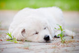 Golden retriever puppy sleeping Royalty Free Stock Photography
