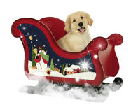 Golden Retriever Puppy and Sleigh Royalty Free Stock Photos