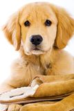 Golden Retriever Puppy with Slippers Stock Image