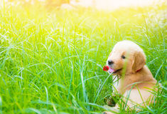 Golden retriever puppy smiling and laying in sun and grass Stock Photo