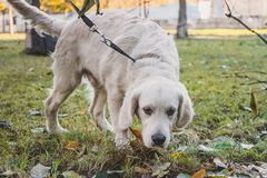 A golden retriever puppy sniffs the ground. In the park stock photo