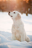 Golden retriever puppy in the snow. Adorable puppy sitting in the snow royalty free stock photo