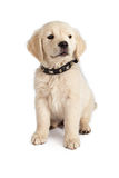 Golden Retriever Puppy Spiked Collar Stock Photo