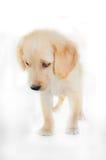 Golden retriever puppy standing on white background Stock Photo