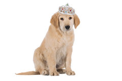 Golden Retriever puppy stiting with crown isolated on white Stock Images