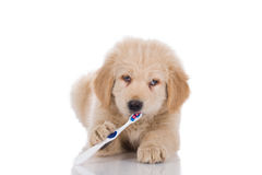 Golden retriever puppy with strabismus brushing his teeth lookin Stock Images