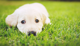 Golden Retriever Puppy Stock Photography