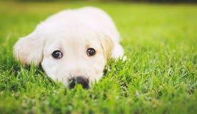 Golden Retriever Puppy Stock Photography