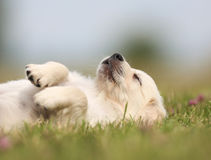 Golden retriever puppy taking a nap Royalty Free Stock Photo