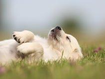 Golden retriever puppy taking a nap royalty free stock photo