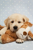 Golden Retriever puppy and teddy bear Stock Photo