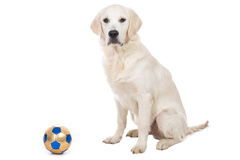 Golden retriever puppy with toy ball. Isolated Royalty Free Stock Photography