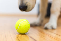 Golden retriever puppy with toy ball. Golden retriever puppy with tenis ball Royalty Free Stock Photo