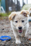 Playful Puppy Stock Image