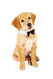 Golden Retriever Puppy Wearing Bow Tie royalty free stock photos