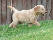 Golden Retriever Puppy. 6 week old golden retriever puppy walking around the yard royalty free stock photo