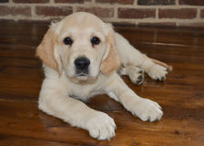 Golden retriever puppy. At 10 weeks old lying on floor Royalty Free Stock Photos