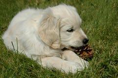 Golden Retriever Puppy. royalty free stock photography