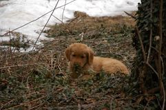 Golden Retriever Puppy in Winter. Golden retriever puppy lying down in winter with snow looking at the viewer Stock Image